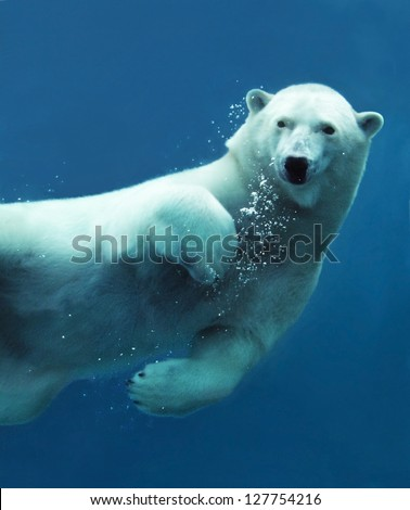 Stock Photo Close-up of a swimming polar bear underwater looking at the camera.