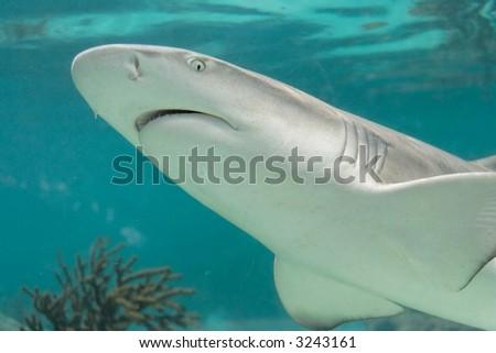 Close up of a swimming shark