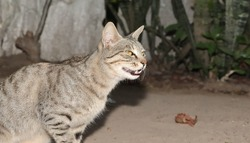 Close-up of A tabby grey cat furiously showing teeth and murmuring furiously . Very angry synchronous grey cats look furiously ruffling their fur. Funny cat