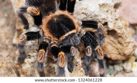 Close up of a tarantula spider, Mexican redknee tarantulas, Brachypelma hamorii