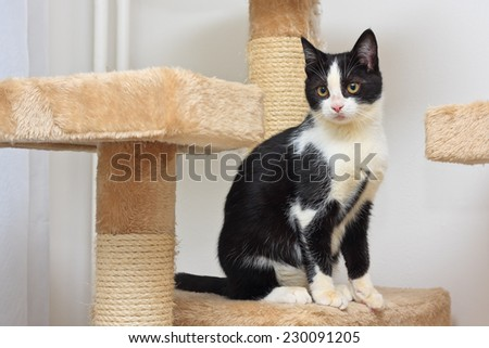 Close-up of a three months old black and white  kitten playing with a rope toy on the top of the scratching post.