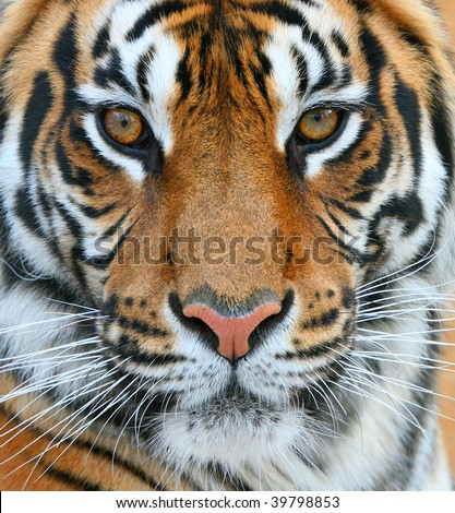 Close up of a tiger #39798853