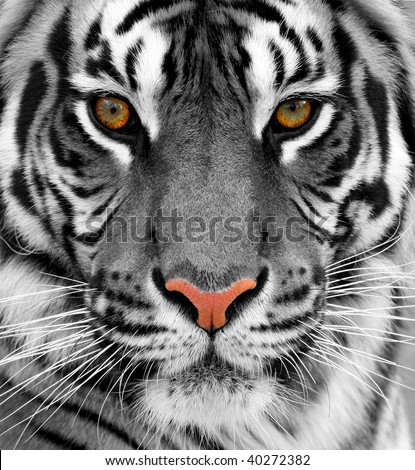 Close up of a tiger
