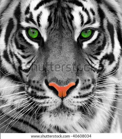 Close up of a tiger #40608034
