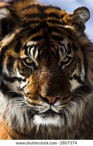 Close up of a tiger's face against a blurred background