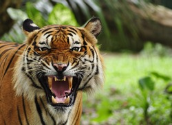 close up of a tiger's face with bare teeth of Bengal Tiger