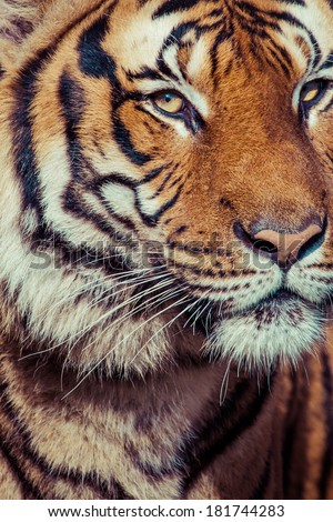 Close-up of a Tigers face. #181744283