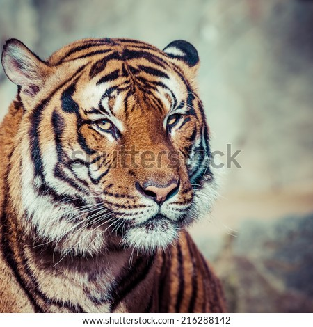 close up of a tigers face ez canvas