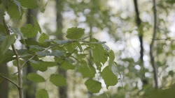 Close up of a tree branch with green leaves swaying in the wind. Action. Summer natural background in a forest with sunlight.
