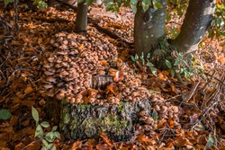Close up of a tree stump in the forest with lots of stick fungi overgrowing the tree with leaves on the forest floor, Germany