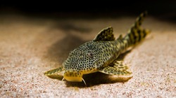 close up of a tropical catfish with leopard pattern