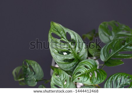 Close up of a tropical monstera Adansonii or Swiss cheese vine house plant leaves in front of dark background