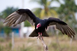 Close-up of a Turkey Vulture (Cathartes aura)