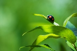 Close up of a twice-stabbed ladybug sitting on a leaf. Natural scene on green color, with copyspace on the left side.