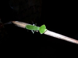 Close up of a unknown green insect on dry coconut leaf,This insect look like grasshopper but this one has oval shape head