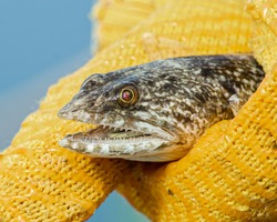 Close up of a variegated lizardfish