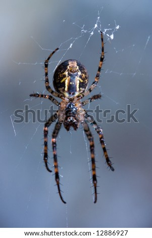 Close-up of a venomous spider hanging in it's web