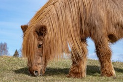 Close up of a very old and retired. (32 years old) Icelandic horse in chestnut color. Extremely long hair and mane looking almost like a mammoth