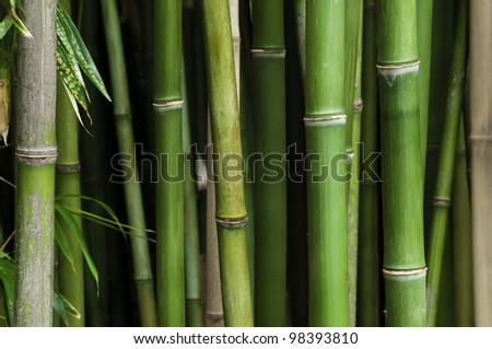 Close up of a vibrant green bamboo forest, with green leaves. #98393810
