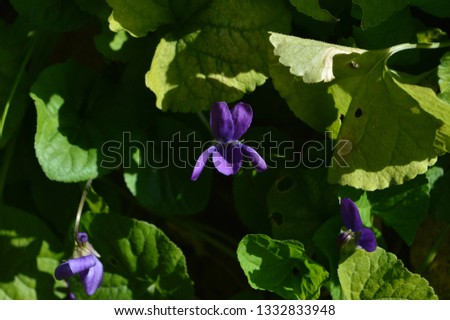 Close-up of a Viola Odorata, Sweet Violet, Wood Violet, Sicily #1332833948