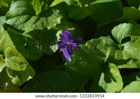 Close-up of a Viola Odorata, Sweet Violet, Wood Violet, Sicily #1332833954