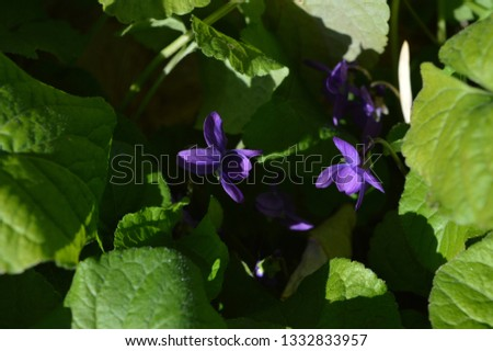 Close-up of a Viola Odorata, Sweet Violet, Wood Violet, Sicily #1332833957