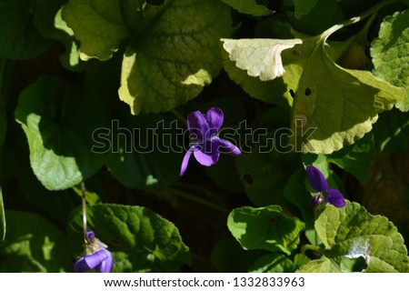 Close-up of a Viola Odorata, Sweet Violet, Wood Violet, Sicily #1332833963