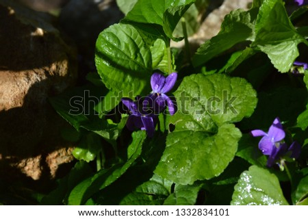 Close-up of a Viola Odorata, Sweet Violet, Wood Violet, Sicily #1332834101