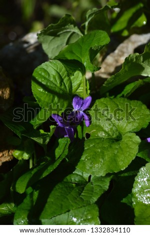 Close-up of a Viola Odorata, Sweet Violet, Wood Violet, Sicily #1332834110