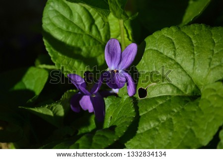 Close-up of a Viola Odorata, Sweet Violet, Wood Violet, Sicily #1332834134