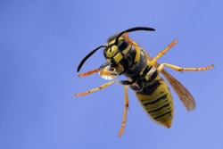 Close-up of a wasp sitting outside the window and drinking from water drop. Macro of stinging insect against the sky. Underside of Vespula vulgaris or germanica isolated on blue background.