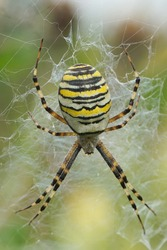 Close up of a wasp spider