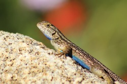Close up of a Western Fence Lizard on a rock, showing off his blue belly