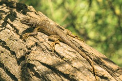 Close-up of a western fence lizard sitting on a tree.