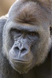 Close up of a Western Lowland Gorilla Face