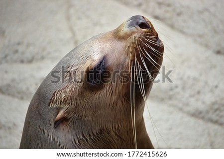 Close up of a wet sea lion's face in profile