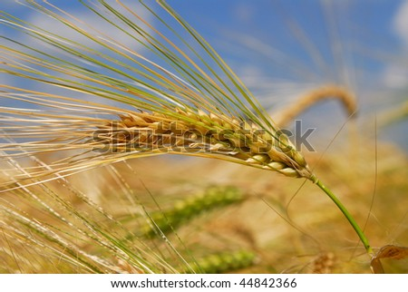 Close-up of a wheat ear in a field before harvest - stock photo