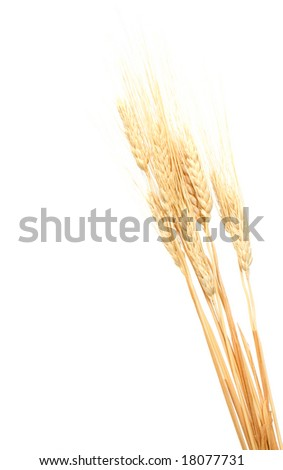 Close up of a wheat ears isolated on white