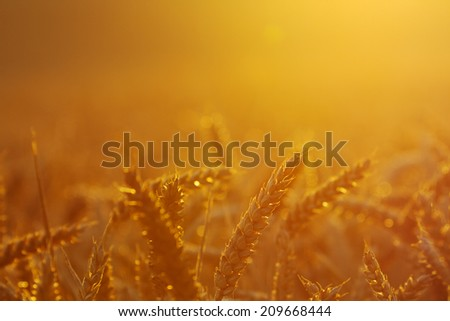 Close-up of a wheat field by sunset, headlight. #209668444