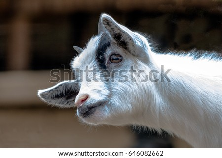 Close up of a white and black Pygmy goat kid head and neck