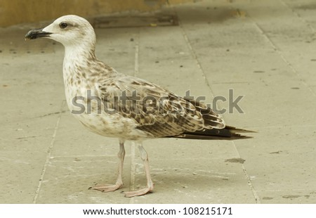 Close up of a white and brown seagull walking