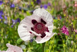 Close up of a white and purple oriental poppy, Papaver orientale or royal wedding.