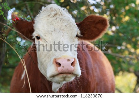 close up of a white-brown cow