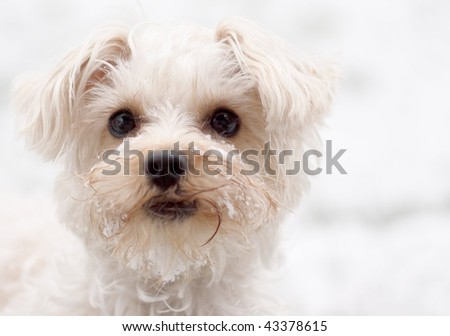 Close up of a white dog s face frosted with snow stock photo