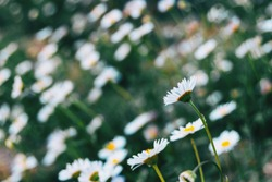 Close-up of a white flower of leucanthemum vulgare on its back in an unfocused pictorial background