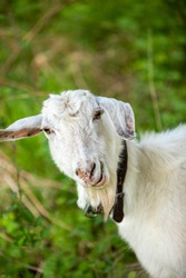 Close-up of a white goat with neck strap eating fresh grass.