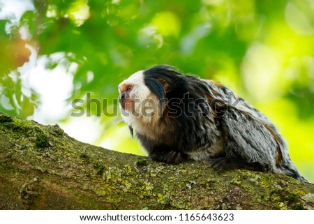 Close up of a white-headed marmoset (Callithrix geoffroyi) primate climbing a tree. Also known as the tufted-ear, Geoffroy's, or Geoffrey's marmoset, is endemic to Brazil