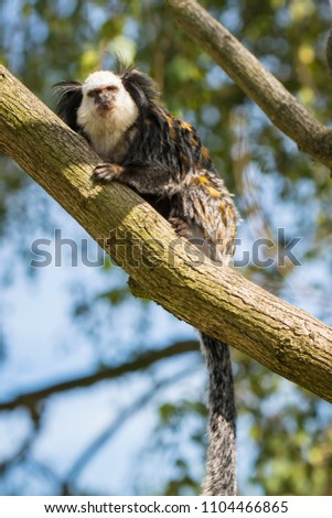 Close up of a white-headed marmoset (Callithrix geoffroyi) primate foraging in a tree. Also known as the tufted-ear, Geoffroy's, or Geoffrey's marmoset, is a marmoset endemic to Brazil