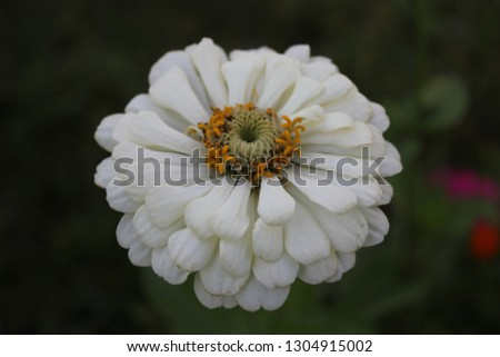 Close-up of a white inflorescence of a untitled flower with yellow stamens in the evening in a garden against a black blurred background. #1304915002