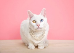 Close up of a white Khao Manee cat with heterochromia wearing a pearl neclace, crouching on a wood table with pink background with copy space.